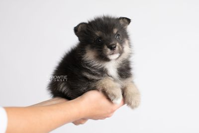 puppy148 week5 BowTiePomsky.com Bowtie Pomsky Puppy For Sale Husky Pomeranian Mini Dog Spokane WA Breeder Blue Eyes Pomskies Celebrity Puppy web9