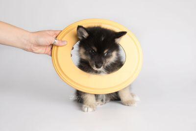 puppy148 week7 BowTiePomsky.com Bowtie Pomsky Puppy For Sale Husky Pomeranian Mini Dog Spokane WA Breeder Blue Eyes Pomskies Celebrity Puppy web5
