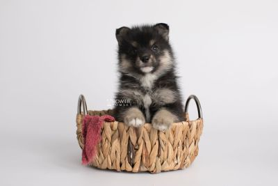 puppy149 week5 BowTiePomsky.com Bowtie Pomsky Puppy For Sale Husky Pomeranian Mini Dog Spokane WA Breeder Blue Eyes Pomskies Celebrity Puppy web4