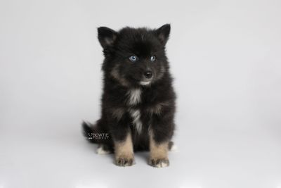 puppy149 week7 BowTiePomsky.com Bowtie Pomsky Puppy For Sale Husky Pomeranian Mini Dog Spokane WA Breeder Blue Eyes Pomskies Celebrity Puppy web5