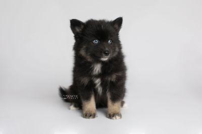 puppy149 week7 BowTiePomsky.com Bowtie Pomsky Puppy For Sale Husky Pomeranian Mini Dog Spokane WA Breeder Blue Eyes Pomskies Celebrity Puppy web5