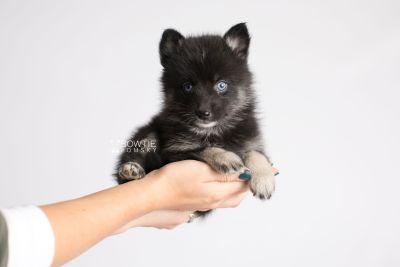 puppy150 week5 BowTiePomsky.com Bowtie Pomsky Puppy For Sale Husky Pomeranian Mini Dog Spokane WA Breeder Blue Eyes Pomskies Celebrity Puppy web8