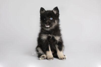 puppy150 week7 BowTiePomsky.com Bowtie Pomsky Puppy For Sale Husky Pomeranian Mini Dog Spokane WA Breeder Blue Eyes Pomskies Celebrity Puppy web6
