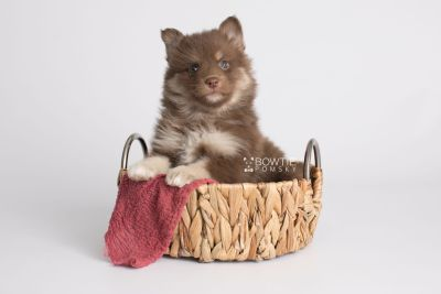 puppy151 week5 BowTiePomsky.com Bowtie Pomsky Puppy For Sale Husky Pomeranian Mini Dog Spokane WA Breeder Blue Eyes Pomskies Celebrity Puppy web3