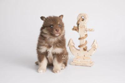 puppy151 week5 BowTiePomsky.com Bowtie Pomsky Puppy For Sale Husky Pomeranian Mini Dog Spokane WA Breeder Blue Eyes Pomskies Celebrity Puppy web4