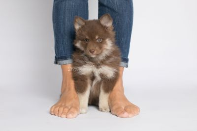 puppy151 week7 BowTiePomsky.com Bowtie Pomsky Puppy For Sale Husky Pomeranian Mini Dog Spokane WA Breeder Blue Eyes Pomskies Celebrity Puppy web8
