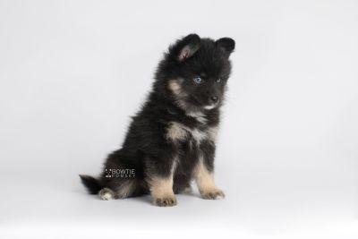 puppy152 week7 BowTiePomsky.com Bowtie Pomsky Puppy For Sale Husky Pomeranian Mini Dog Spokane WA Breeder Blue Eyes Pomskies Celebrity Puppy web6