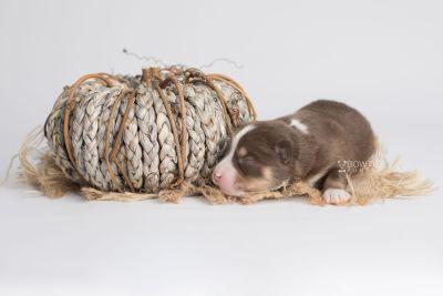 puppy153 week1 BowTiePomsky.com Bowtie Pomsky Puppy For Sale Husky Pomeranian Mini Dog Spokane WA Breeder Blue Eyes Pomskies Celebrity Puppy web3