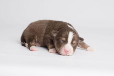 puppy153 week1 BowTiePomsky.com Bowtie Pomsky Puppy For Sale Husky Pomeranian Mini Dog Spokane WA Breeder Blue Eyes Pomskies Celebrity Puppy web6