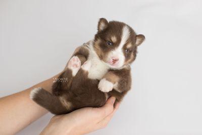 puppy153 week3 BowTiePomsky.com Bowtie Pomsky Puppy For Sale Husky Pomeranian Mini Dog Spokane WA Breeder Blue Eyes Pomskies Celebrity Puppy web7