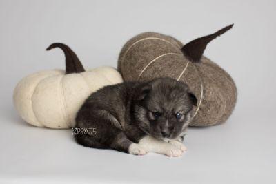 puppy154 week3 BowTiePomsky.com Bowtie Pomsky Puppy For Sale Husky Pomeranian Mini Dog Spokane WA Breeder Blue Eyes Pomskies Celebrity Puppy web3