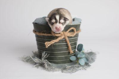 puppy156 week1 BowTiePomsky.com Bowtie Pomsky Puppy For Sale Husky Pomeranian Mini Dog Spokane WA Breeder Blue Eyes Pomskies Celebrity Puppy web1