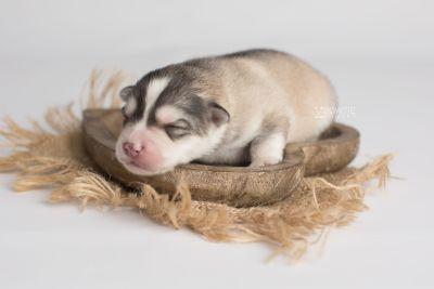 puppy156 week1 BowTiePomsky.com Bowtie Pomsky Puppy For Sale Husky Pomeranian Mini Dog Spokane WA Breeder Blue Eyes Pomskies Celebrity Puppy web6
