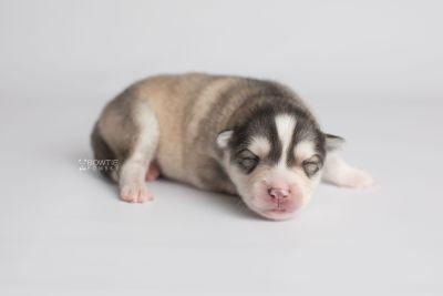 puppy156 week1 BowTiePomsky.com Bowtie Pomsky Puppy For Sale Husky Pomeranian Mini Dog Spokane WA Breeder Blue Eyes Pomskies Celebrity Puppy web8