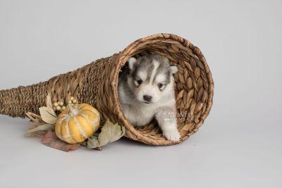 puppy156 week3 BowTiePomsky.com Bowtie Pomsky Puppy For Sale Husky Pomeranian Mini Dog Spokane WA Breeder Blue Eyes Pomskies Celebrity Puppy web1