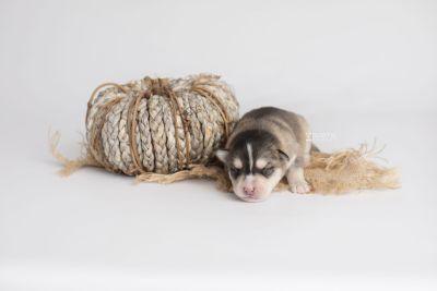 puppy157 week1 BowTiePomsky.com Bowtie Pomsky Puppy For Sale Husky Pomeranian Mini Dog Spokane WA Breeder Blue Eyes Pomskies Celebrity Puppy web3
