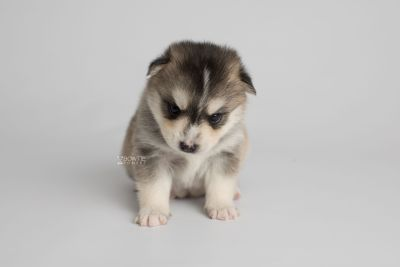 puppy157 week3 BowTiePomsky.com Bowtie Pomsky Puppy For Sale Husky Pomeranian Mini Dog Spokane WA Breeder Blue Eyes Pomskies Celebrity Puppy web7