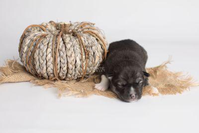 puppy158 week1 BowTiePomsky.com Bowtie Pomsky Puppy For Sale Husky Pomeranian Mini Dog Spokane WA Breeder Blue Eyes Pomskies Celebrity Puppy web3
