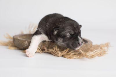 puppy158 week1 BowTiePomsky.com Bowtie Pomsky Puppy For Sale Husky Pomeranian Mini Dog Spokane WA Breeder Blue Eyes Pomskies Celebrity Puppy web5
