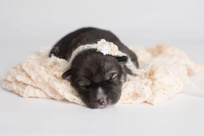 puppy158 week1 BowTiePomsky.com Bowtie Pomsky Puppy For Sale Husky Pomeranian Mini Dog Spokane WA Breeder Blue Eyes Pomskies Celebrity Puppy web6