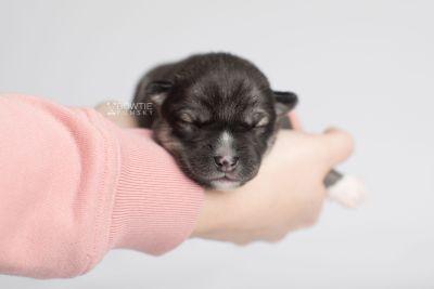 puppy158 week1 BowTiePomsky.com Bowtie Pomsky Puppy For Sale Husky Pomeranian Mini Dog Spokane WA Breeder Blue Eyes Pomskies Celebrity Puppy web8