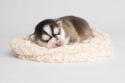 puppy159 week1 BowTiePomsky.com Bowtie Pomsky Puppy For Sale Husky Pomeranian Mini Dog Spokane WA Breeder Blue Eyes Pomskies Celebrity Puppy web5