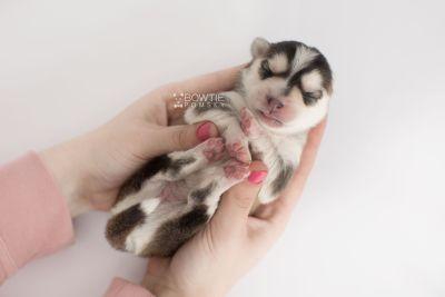puppy159 week1 BowTiePomsky.com Bowtie Pomsky Puppy For Sale Husky Pomeranian Mini Dog Spokane WA Breeder Blue Eyes Pomskies Celebrity Puppy web9