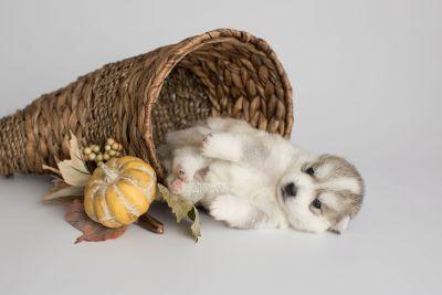 puppy159 week3 BowTiePomsky.com Bowtie Pomsky Puppy For Sale Husky Pomeranian Mini Dog Spokane WA Breeder Blue Eyes Pomskies Celebrity Puppy web1