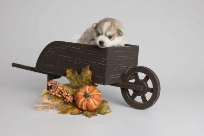 puppy159 week3 BowTiePomsky.com Bowtie Pomsky Puppy For Sale Husky Pomeranian Mini Dog Spokane WA Breeder Blue Eyes Pomskies Celebrity Puppy web3