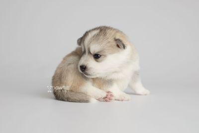 puppy159 week3 BowTiePomsky.com Bowtie Pomsky Puppy For Sale Husky Pomeranian Mini Dog Spokane WA Breeder Blue Eyes Pomskies Celebrity Puppy web7