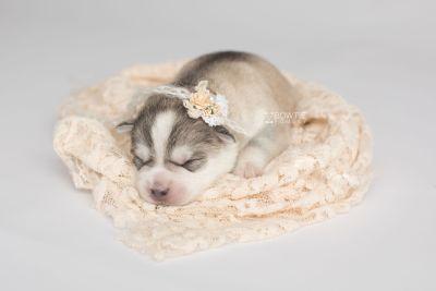 puppy160 week1 BowTiePomsky.com Bowtie Pomsky Puppy For Sale Husky Pomeranian Mini Dog Spokane WA Breeder Blue Eyes Pomskies Celebrity Puppy web7