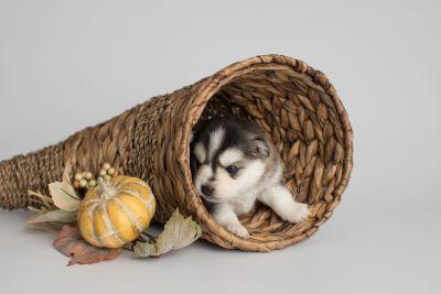 puppy160 week3 BowTiePomsky.com Bowtie Pomsky Puppy For Sale Husky Pomeranian Mini Dog Spokane WA Breeder Blue Eyes Pomskies Celebrity Puppy web1
