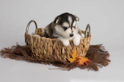 puppy160 week3 BowTiePomsky.com Bowtie Pomsky Puppy For Sale Husky Pomeranian Mini Dog Spokane WA Breeder Blue Eyes Pomskies Celebrity Puppy web5