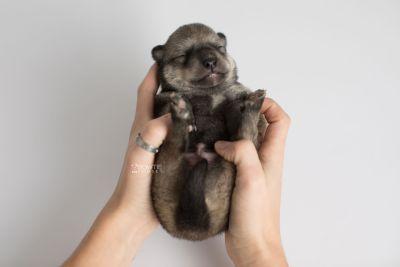 puppy162 week1 BowTiePomsky.com Bowtie Pomsky Puppy For Sale Husky Pomeranian Mini Dog Spokane WA Breeder Blue Eyes Pomskies Celebrity Puppy web7