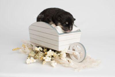 puppy164 week1 BowTiePomsky.com Bowtie Pomsky Puppy For Sale Husky Pomeranian Mini Dog Spokane WA Breeder Blue Eyes Pomskies Celebrity Puppy web6