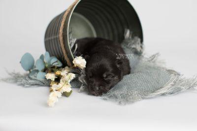 puppy166 week1 BowTiePomsky.com Bowtie Pomsky Puppy For Sale Husky Pomeranian Mini Dog Spokane WA Breeder Blue Eyes Pomskies Celebrity Puppy web1
