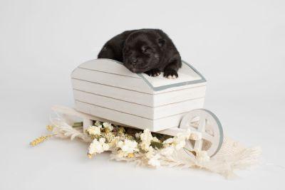 puppy166 week1 BowTiePomsky.com Bowtie Pomsky Puppy For Sale Husky Pomeranian Mini Dog Spokane WA Breeder Blue Eyes Pomskies Celebrity Puppy web3
