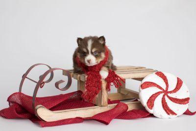 puppy153 week5 BowTiePomsky.com Bowtie Pomsky Puppy For Sale Husky Pomeranian Mini Dog Spokane WA Breeder Blue Eyes Pomskies Celebrity Puppy web2