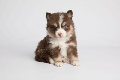 puppy153 week5 BowTiePomsky.com Bowtie Pomsky Puppy For Sale Husky Pomeranian Mini Dog Spokane WA Breeder Blue Eyes Pomskies Celebrity Puppy web6