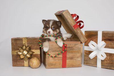 puppy153 week7 BowTiePomsky.com Bowtie Pomsky Puppy For Sale Husky Pomeranian Mini Dog Spokane WA Breeder Blue Eyes Pomskies Celebrity Puppy web2