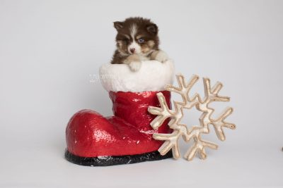 puppy153 week7 BowTiePomsky.com Bowtie Pomsky Puppy For Sale Husky Pomeranian Mini Dog Spokane WA Breeder Blue Eyes Pomskies Celebrity Puppy web7
