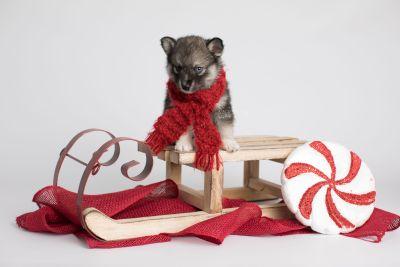 puppy154 week5 BowTiePomsky.com Bowtie Pomsky Puppy For Sale Husky Pomeranian Mini Dog Spokane WA Breeder Blue Eyes Pomskies Celebrity Puppy web5