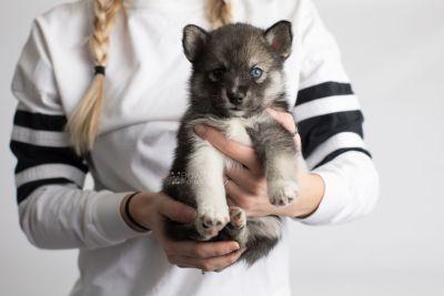 puppy154 week5 BowTiePomsky.com Bowtie Pomsky Puppy For Sale Husky Pomeranian Mini Dog Spokane WA Breeder Blue Eyes Pomskies Celebrity Puppy web6