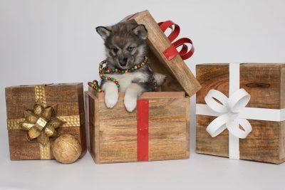 puppy154 week7 BowTiePomsky.com Bowtie Pomsky Puppy For Sale Husky Pomeranian Mini Dog Spokane WA Breeder Blue Eyes Pomskies Celebrity Puppy web1