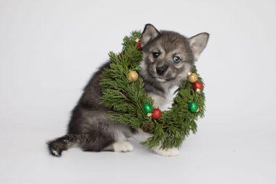 puppy154 week7 BowTiePomsky.com Bowtie Pomsky Puppy For Sale Husky Pomeranian Mini Dog Spokane WA Breeder Blue Eyes Pomskies Celebrity Puppy web3