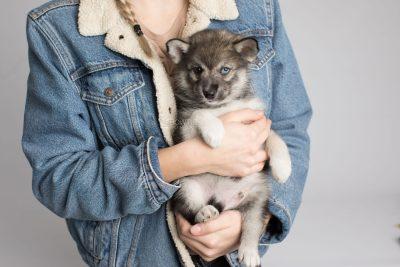 puppy154 week7 BowTiePomsky.com Bowtie Pomsky Puppy For Sale Husky Pomeranian Mini Dog Spokane WA Breeder Blue Eyes Pomskies Celebrity Puppy web7