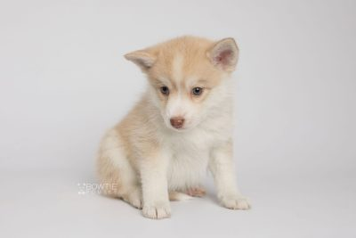 puppy155 week7 BowTiePomsky.com Bowtie Pomsky Puppy For Sale Husky Pomeranian Mini Dog Spokane WA Breeder Blue Eyes Pomskies Celebrity Puppy web7