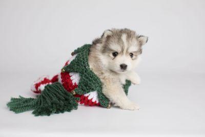 puppy156 week5 BowTiePomsky.com Bowtie Pomsky Puppy For Sale Husky Pomeranian Mini Dog Spokane WA Breeder Blue Eyes Pomskies Celebrity Puppy web3