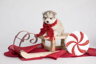 puppy156 week5 BowTiePomsky.com Bowtie Pomsky Puppy For Sale Husky Pomeranian Mini Dog Spokane WA Breeder Blue Eyes Pomskies Celebrity Puppy web5