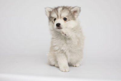 puppy156 week7 BowTiePomsky.com Bowtie Pomsky Puppy For Sale Husky Pomeranian Mini Dog Spokane WA Breeder Blue Eyes Pomskies Celebrity Puppy web4
